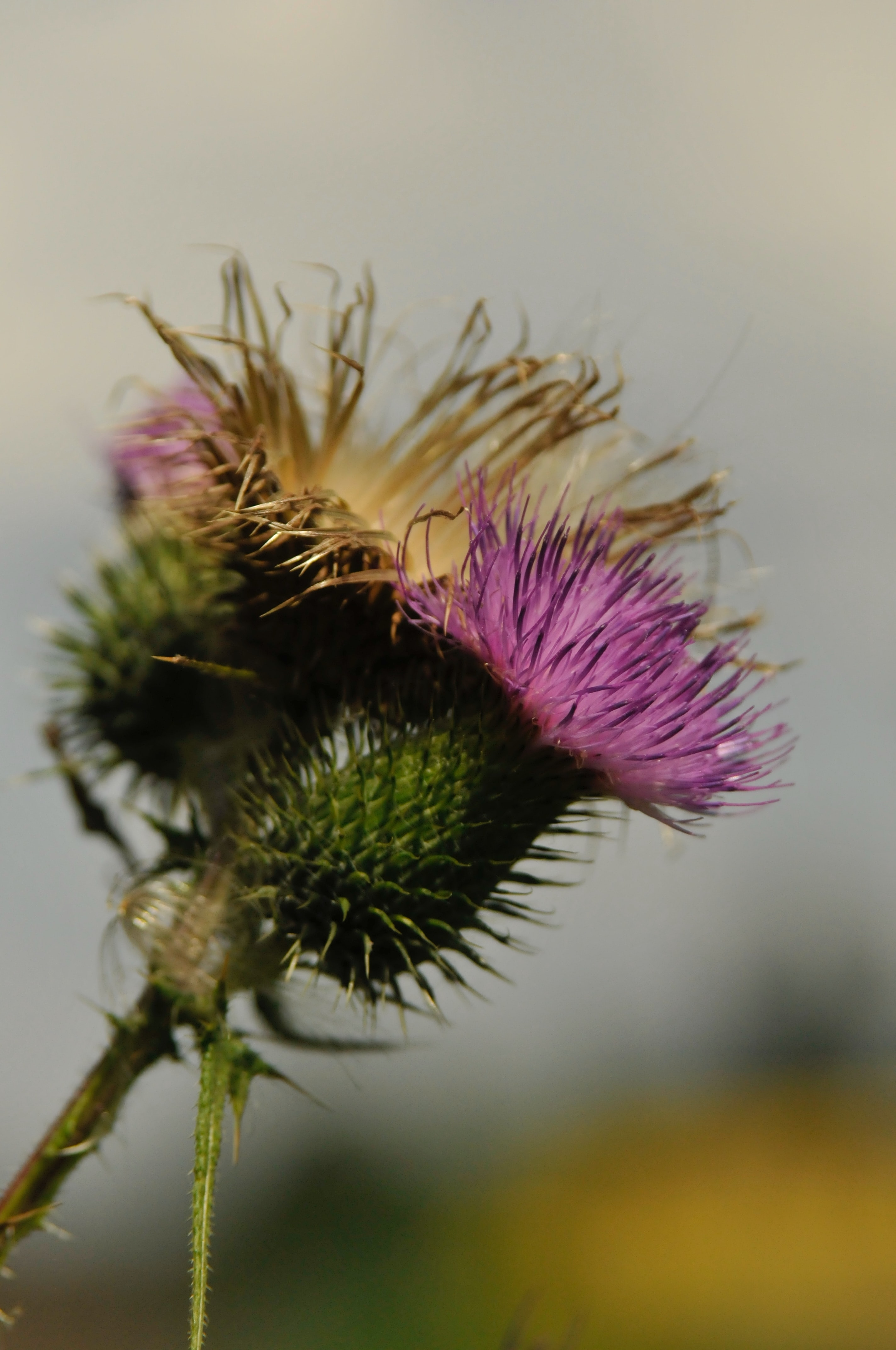 Does Milk Thistle Help With Blood Sugar?